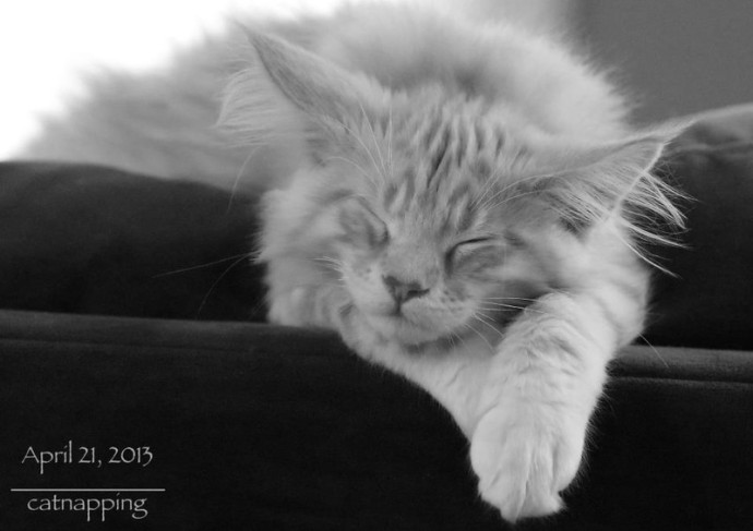 cameo tabby maine coon asleep on the sofa