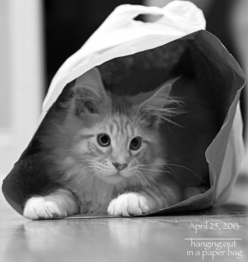 cameo tabby maine coon hanging out in a paper bag