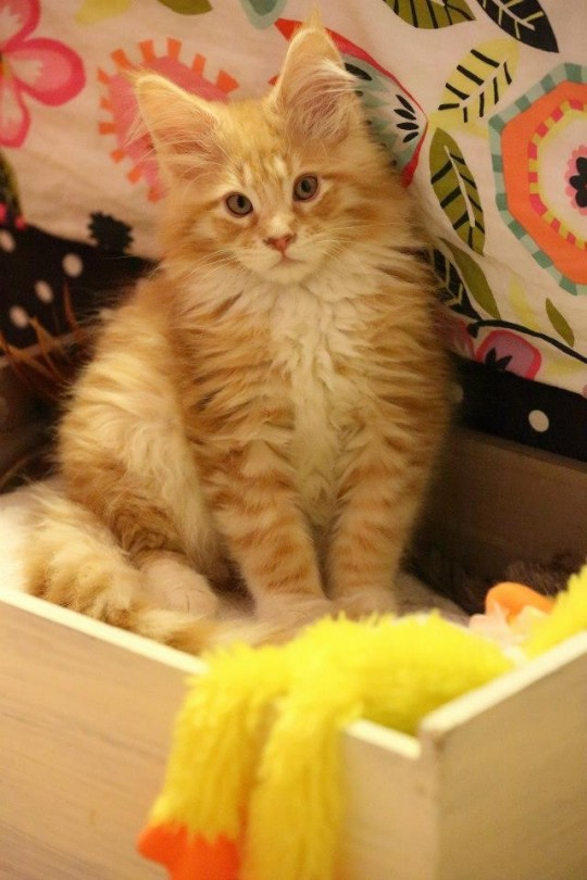 cameo / red silver tabby maine coon sitting in a wooden box - our tiger from CongoCoons