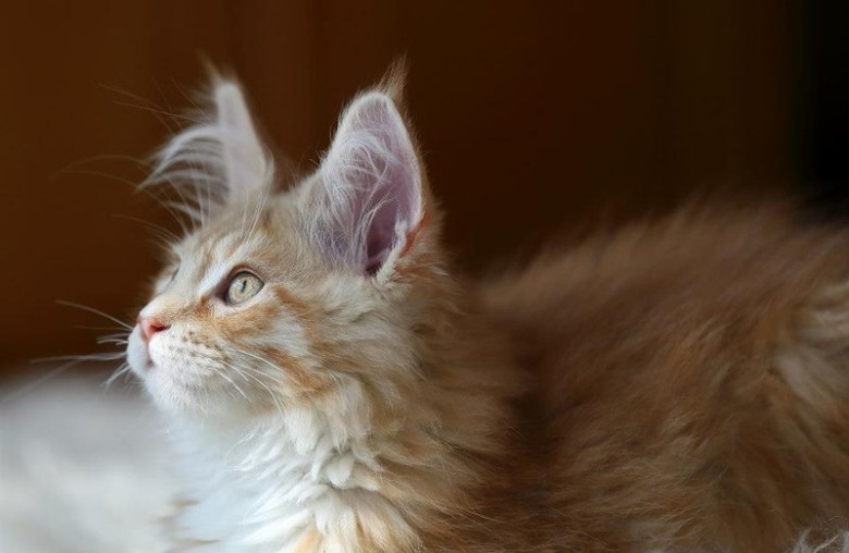 cameo tabby maine coon with beautiful eyes