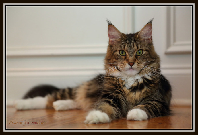brown tabby maine coon laying on hardwood floor