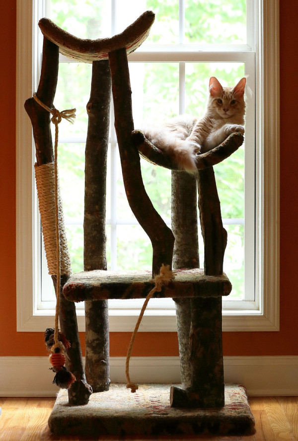 cameo tabby maine coon resting on cat tree