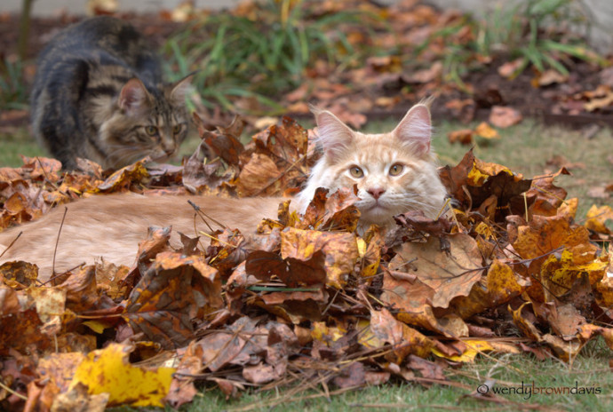 cameo tabby maine coon laying in a pile of leaves