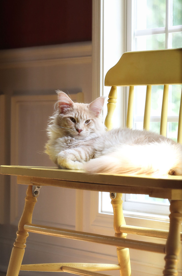 cameo tabby maine coon lounging on a bench