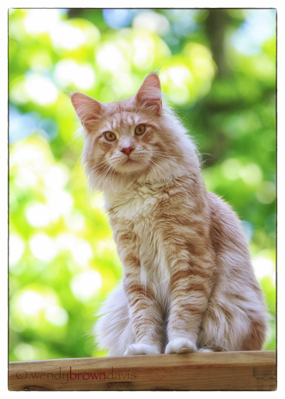 Large Maine Coon - Cameo / Red Silver Tabby with White from CongoCoons + Bokeh
