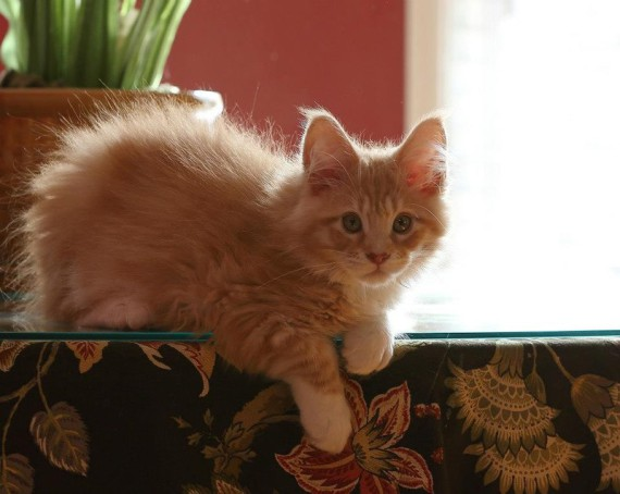 cameo  tabby maine coon laying on a table