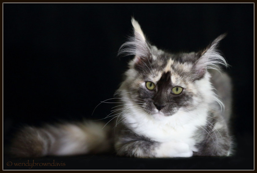 Maine Coon RavenWolf Smoke Tortie (w/ white and poly paws) from Koontopia