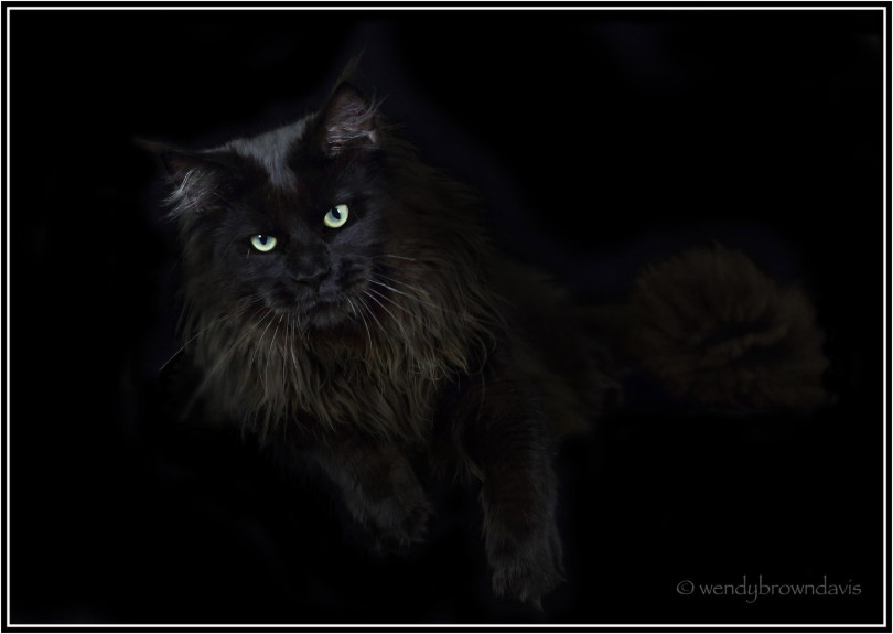 European Large Black Maine Coon from AMIBIAL*PL  JACOB / BASILISK