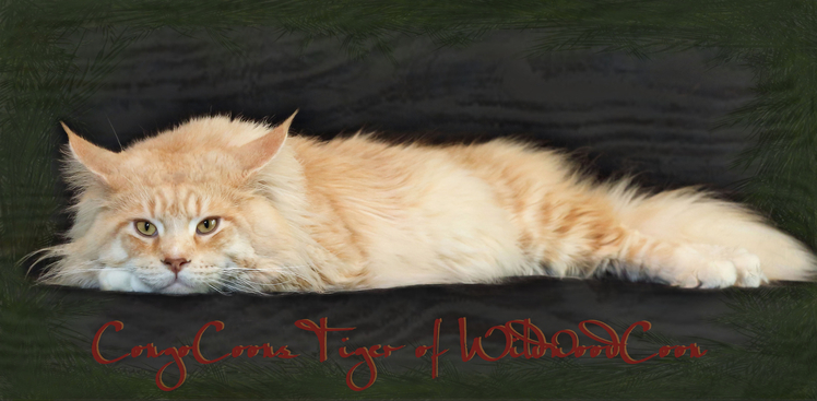 Large Maine Coon Cat - Cameo / Red Silver Tabby with White from CongoCoons