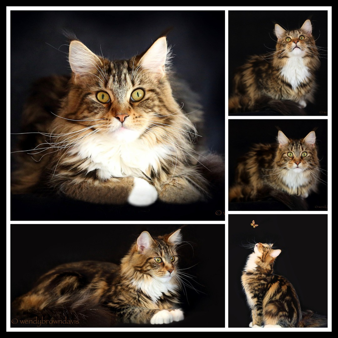 Maine Coon Bella  - Brown Classic Tabby w/ White from CongoCoon