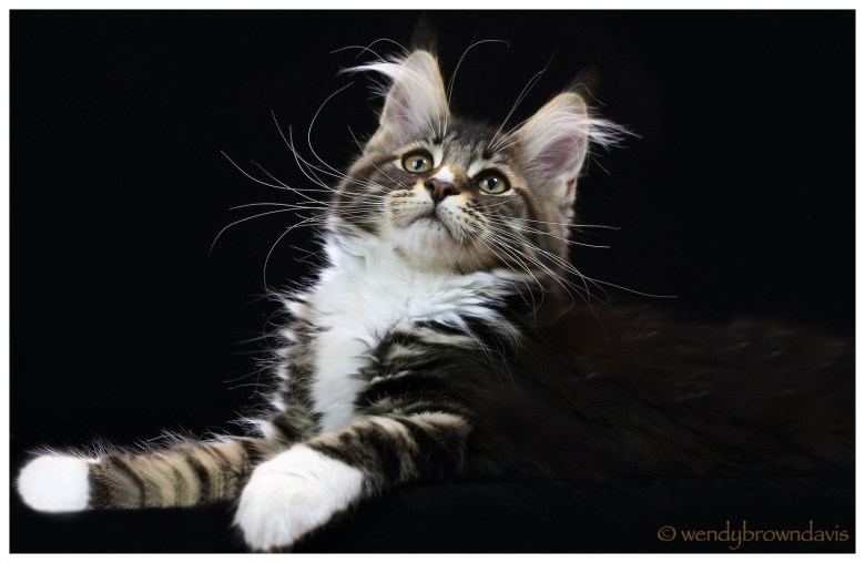 Maine Coon Kit Fox looking up, Cool Brown Classic Tabby with White from CongoCoon